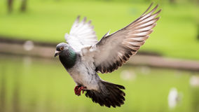 Landing Pigeon in the Park A Royalty Free Stock Image