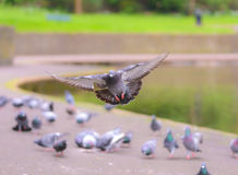 Landing Pigeon in the Park A1 Royalty Free Stock Photos