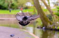 Landing Pigeon in the Park A4 Royalty Free Stock Images