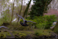 Landing Pigeon in the Park X Royalty Free Stock Photography