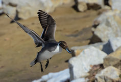 Landing Pintail Duck Stock Images
