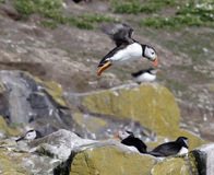 Landing puffin Royalty Free Stock Image