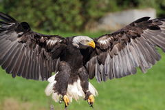 Landing Sea eagle closeup view Royalty Free Stock Photo