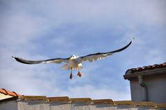 Landing Seagull Royalty Free Stock Photos