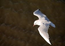 Landing Seagull Stock Photography