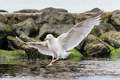 Landing Seagull Royalty Free Stock Images