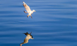 Landing Seagull. And his reflection on water Royalty Free Stock Images