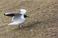 After landing seagull Royalty Free Stock Images