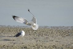 Landing of Seagull Stock Photography