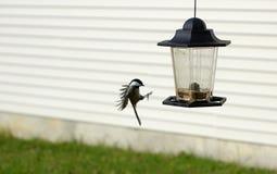 Landing site. Bird landing on a backyard feeder Stock Photo