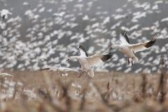 Landing snow geese Stock Photos