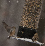 Landing on a Snowy Bird Feeder Stock Photos