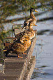 Landing-stage with four wild ducks in summer. Landing-stage with four wild ducks on sunny summer morning Royalty Free Stock Image