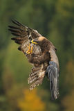Landing Steppe Eagle royalty free stock photo