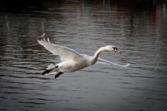Landing swam. Beautiful Swam landing on the lake Royalty Free Stock Photography