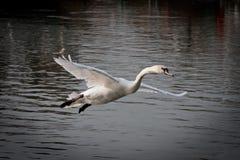 Landing swam Royalty Free Stock Photography