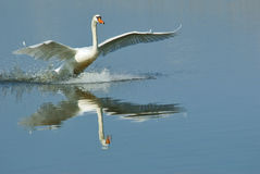 Landing swan Royalty Free Stock Photo