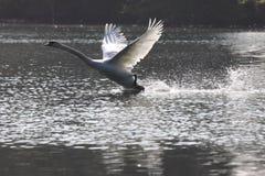 Landing of a swan mute Stock Photos