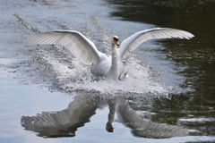 Landing Swan Stock Photography