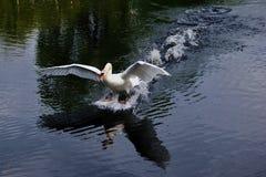 Landing swan Royalty Free Stock Images