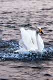 Landing Swan in YanDunJiao gulf Stock Photography