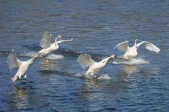 Landing Swans Stock Image