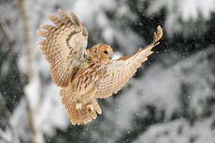 Landing tawny owl. Tawny owl in winter time whne is snowing Royalty Free Stock Images