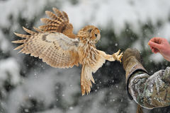 Landing tawny owl on glove Royalty Free Stock Photos