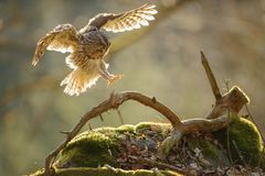 Landing Tawny owl with outstretched wings Stock Images