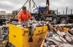 Landing van kabeljauwvissen in IJsland Royalty-vrije Stock Fotografie