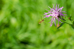 Landing Wasp. In front of a green background Royalty Free Stock Photos