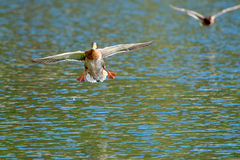 Landing on water. Duck landing on water, opened their wings and legs Royalty Free Stock Photography