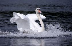 Landing white swan Stock Photography