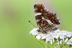 Landkaartje, Map butterfly, Araschnia levana prorsa stock photos