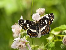 Landkaartje, Map butterfly, Araschnia levana prorsa royalty free stock image