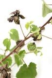 Landmalve, indische Malve (Abutilon indicum (L ) Bonbon) Stockfotos