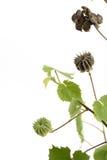 Landmalve, indische Malve (Abutilon indicum (L ) Bonbon) Lizenzfreies Stockfoto