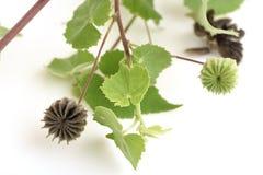 Landmalve, indische Malve (Abutilon indicum (L ) Bonbon) Lizenzfreie Stockbilder