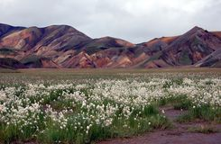 Landmannalaugar, Iceland.White cottongrass flower. This area is known by its multicoloured mountains, lava fields and hot springs Stock Images