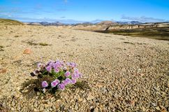Landmannalaugar mountains with flowers Stock Photography