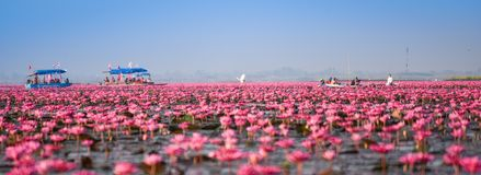 Landmark udon thani Red Lotus Lake Color pond. Beautiful Red Lotus Sea Kumphawapi full of pink flowers in Udon Thani in northern Thailand. Flora of south east stock image