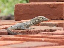 Landmonitor (Varanus-bengalensis) Stock Foto's