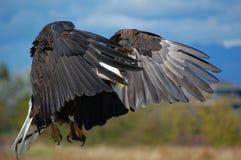 Landning Eagle Royaltyfria Bilder