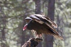 Landning för fågel för Turkiet gam på träd Royaltyfri Foto