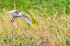 Landning för nötkreaturägretthäger på jordbruksmark fotografering för bildbyråer