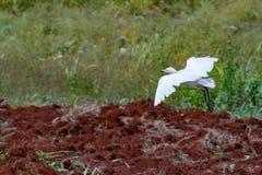 Landning för nötkreaturägretthäger på nyligen plöjd jordbruksmark arkivbilder