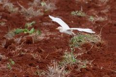 Landning för nötkreaturägretthäger på nytt plöjd lantgård royaltyfria bilder