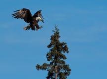Landning för skallig örn i ett träd Arkivbilder