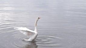 Landning för stum svan på Mimico strand Royaltyfri Fotografi