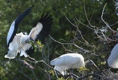 Landning för Wood stork med att bygga bo material i dess räkning, Florida Arkivfoton